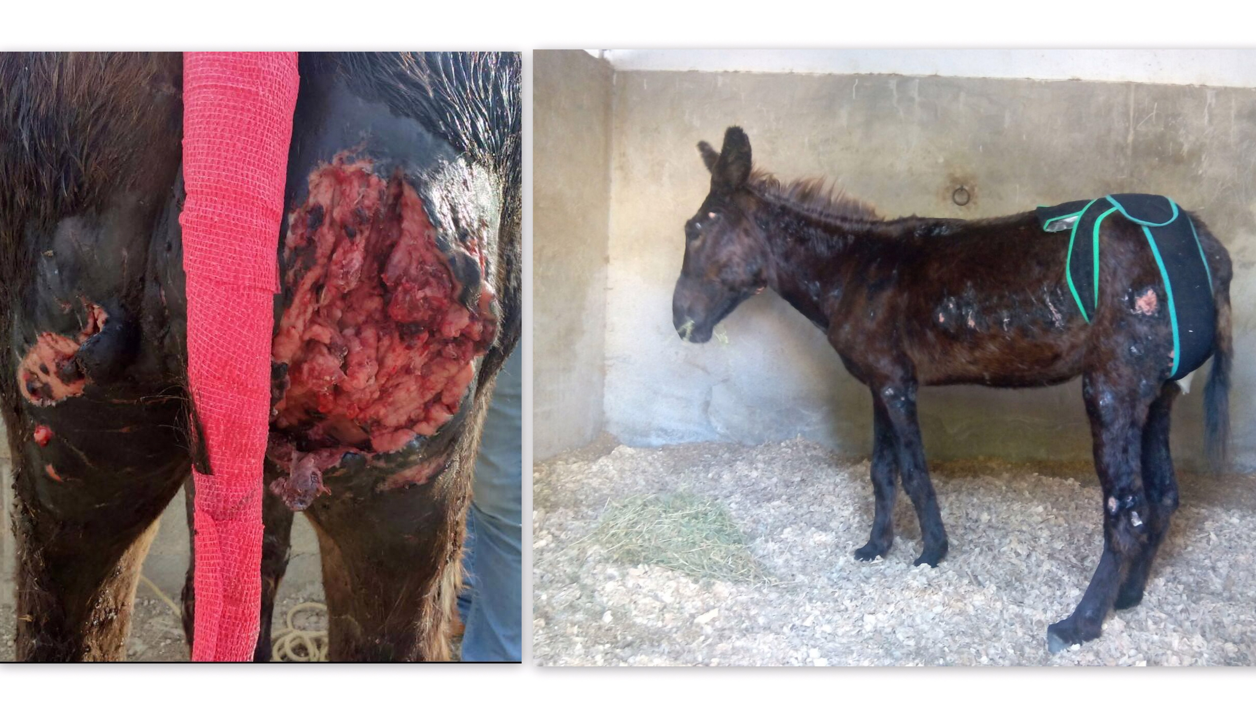 She had open and infected wounds all over her body, mainly due to the bites of the dog